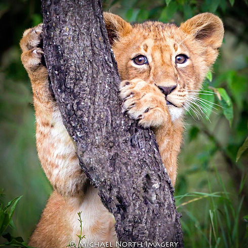 LION CUB hugging tree.jpg