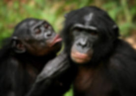 2 bonobo TRYING TO KISS.jpg