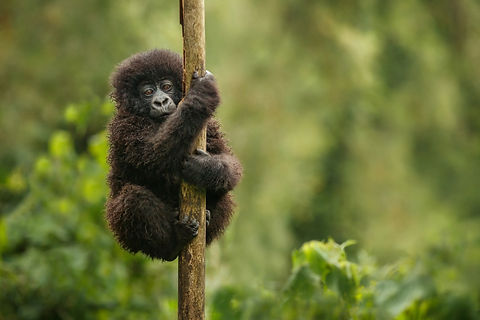 baby gorilla on a tree.jpg
