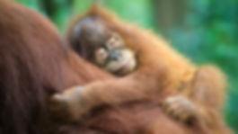 baby orangutan sleeping.jpg
