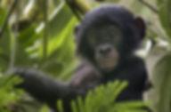 bonobo baby.jpeg