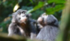 2 bonobos.jpg