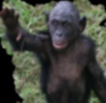 baby green bg bonobo_edited.png