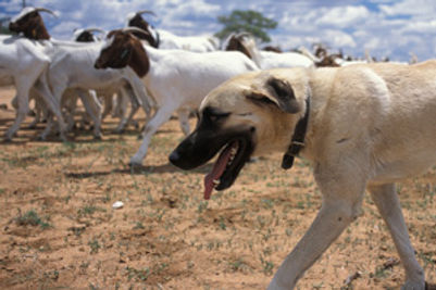 livestock-dog.jpg