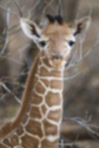 baby giraffe billy dodson.jpg