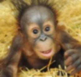 new born orangutan.jpg