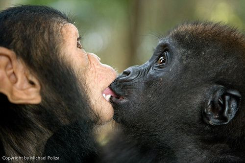 chimp bonobo kiss