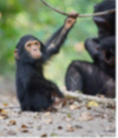 baby chimp KATE MALONE.jpg