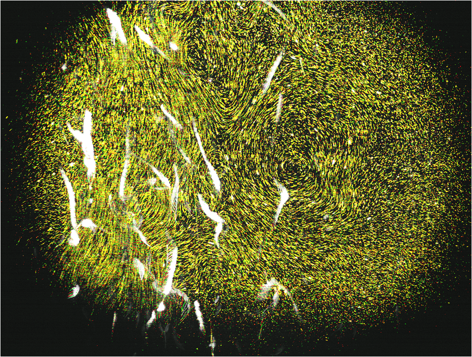 Flow Visualization During Vertical Migration of A. salina