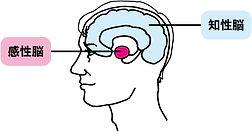 図_感性脳と知性脳