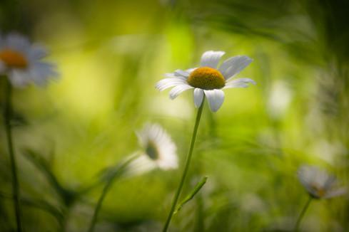 Meadow Daisies 01.jpg