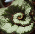 Escargot Begonia.jpg