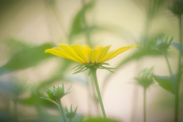 Hen and Hive Meadow Daisy 2.jpg