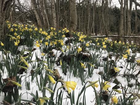 Coup de froid sur les tulipes ...