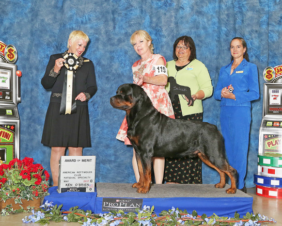 Abel wins an Award of Merit at the 2017 American Rottweiler Club National Specialty!