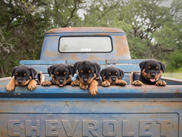 SilverHeart Puppies (Luna x Duke)