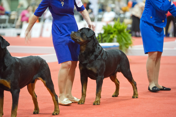Abel and Jeannie win Best of Breed at the opening show at Eukanuba 2016!