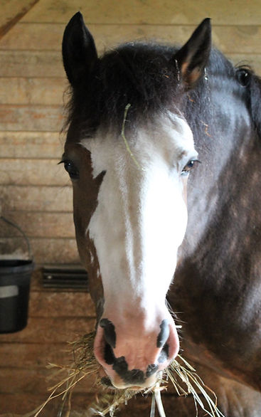 A pony with a white and brown face looking straight at the camera