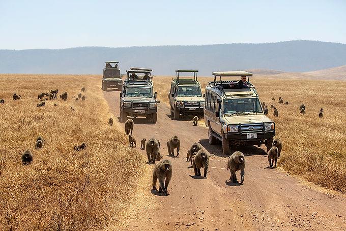 Safari vehicles and baboons crossing the path | Shots and Tales | Ngorongoro Crater | Tanzania