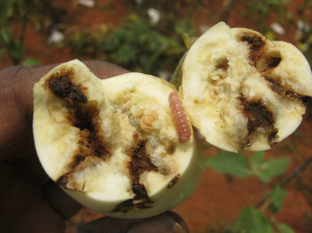 brinjal-shoot-fruit-borer-leucinodes