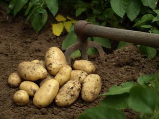 Les patates sont mûres - du 26 juin au 10 juillet