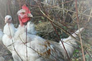 Livraison de poulets - 22 et 26 juin
