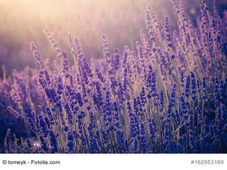 Lavendel – lila Blütenzauber, Heilpflanze und Küchenkraut