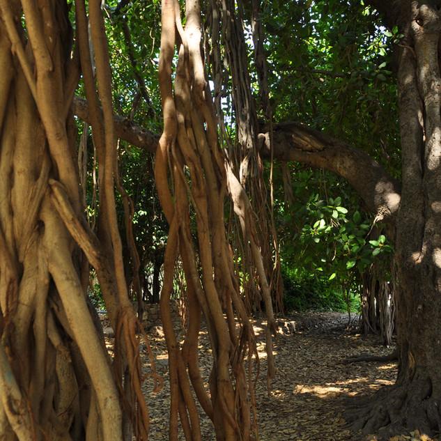 Ficus bengali a été planté en 1888. Ses racines aériennes replongent dans le sol et d'autres troncs réapparaissent en plusieurs endroits sur une surface de 30 m2.