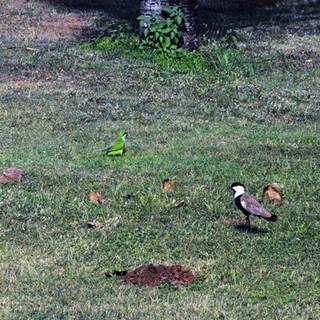 Diverses espèces d'oiseaux ont élu domicile dans le parc de Mikvé-Israël et en particulier une grande colonie de perruches.
