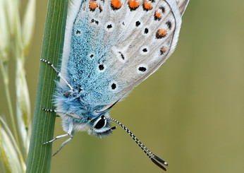 The silver blue butterly
