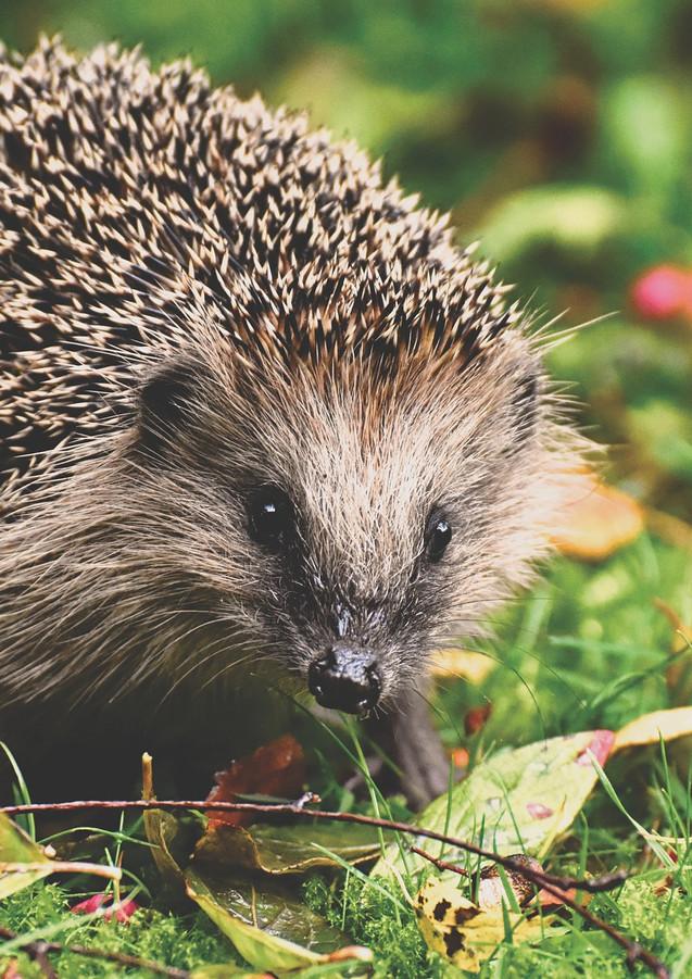 hedgehog at Gwithian sands