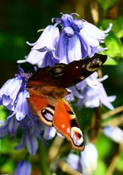 peacock-butterfly-339840_1920.jpg