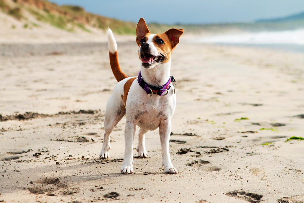 A little dog on the beach in Cornwall