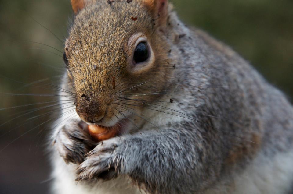 Squirrel in tehidy woods, wildlife, eating a nut.