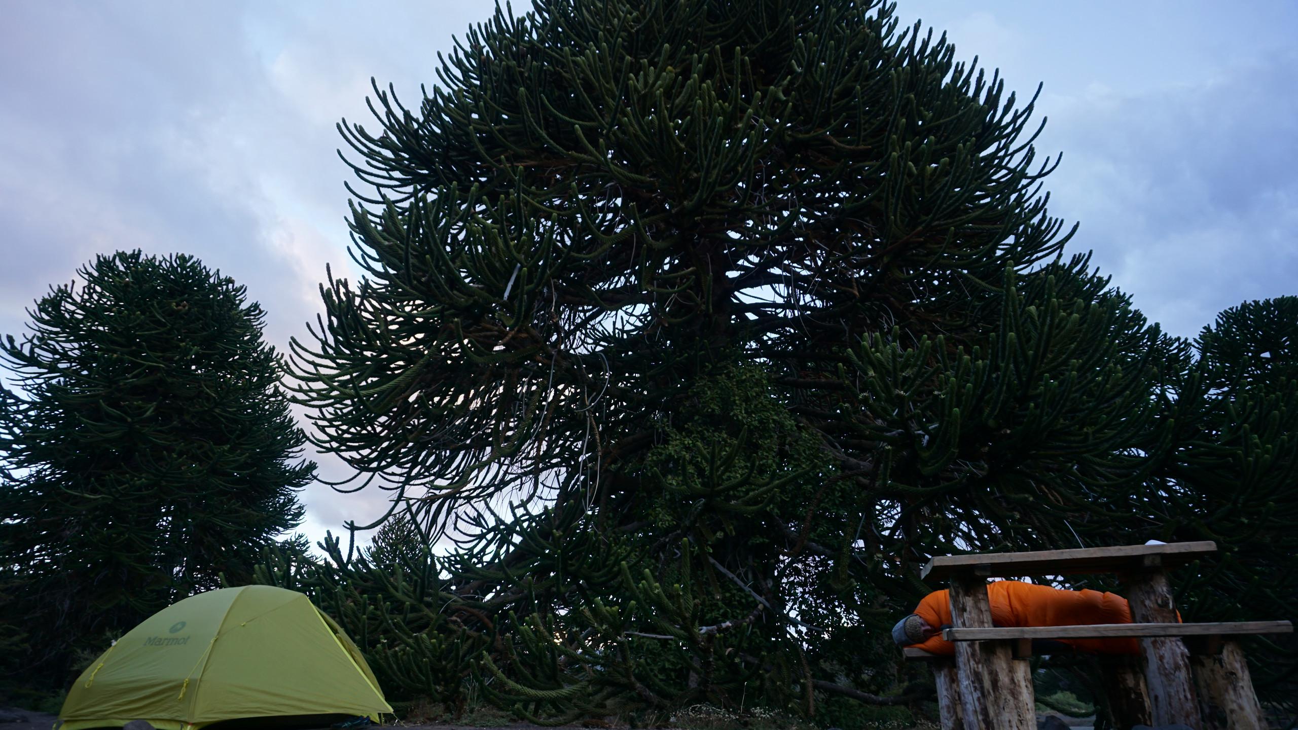Sleeping under the Araucaria trees