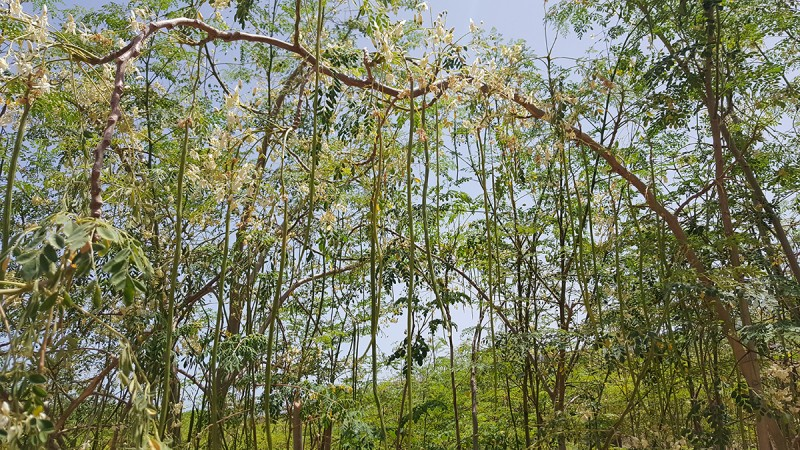 Moringa Garden