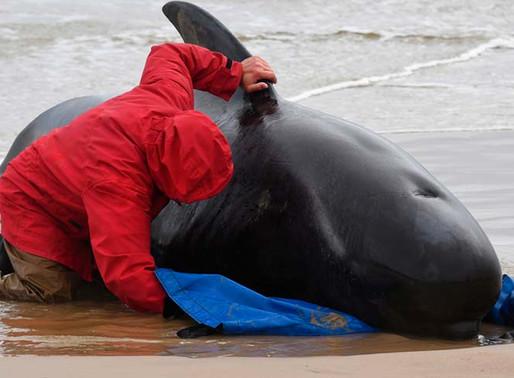 Tragedia en Australia: Un tercio de 270 ballenas varadas han muerto y apenas 25 se han salvado.