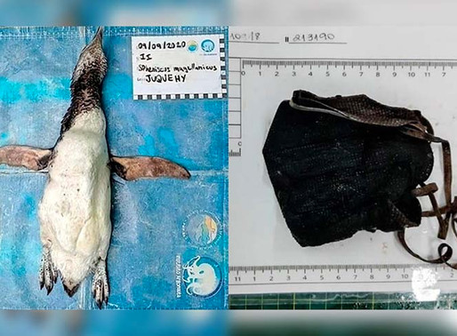 Pingüino muere por comer un cubrebocas N95 en Brasil.
