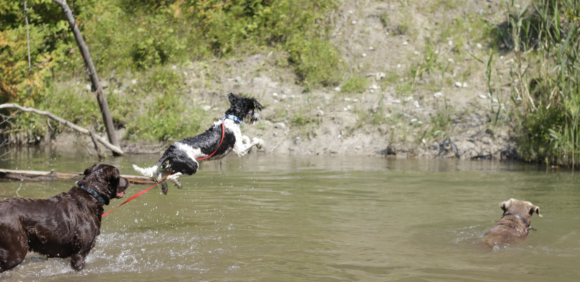 2018 DWH pic dogs at pond jumping.jpeg