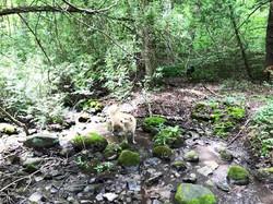 heron pty - dog at stream