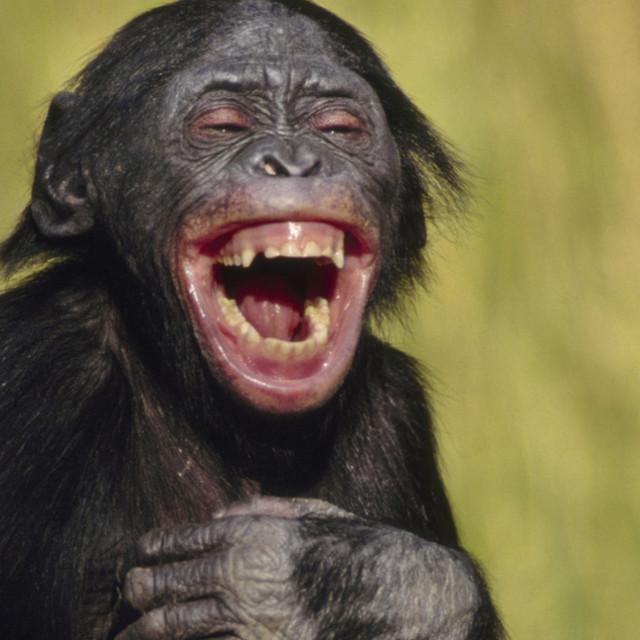 laughing-bonobo-crop.jpg