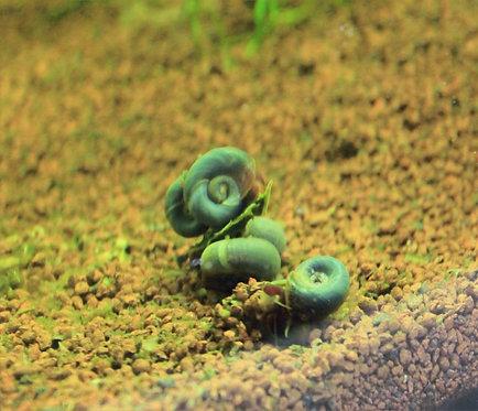 planorbarius blu