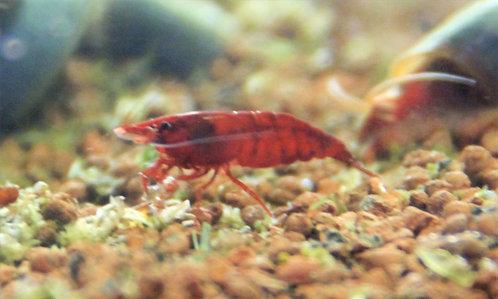 Neocaridina davidi rosso rubino/blody mary