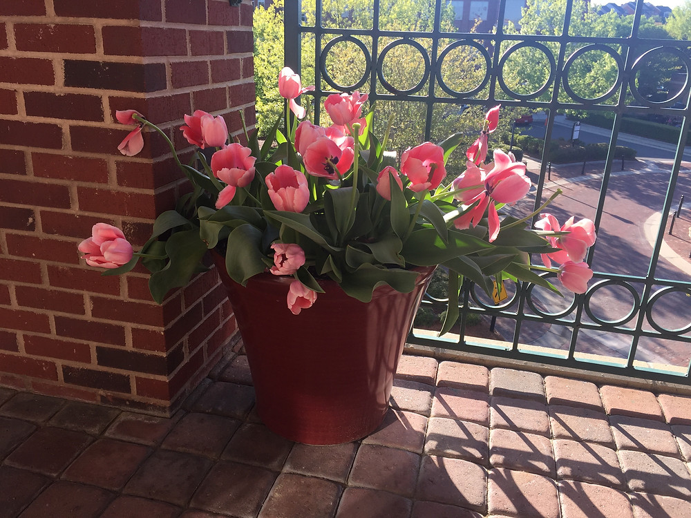 Pot of pink tulips