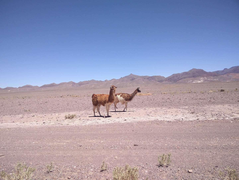 Wildlife in the Atacama