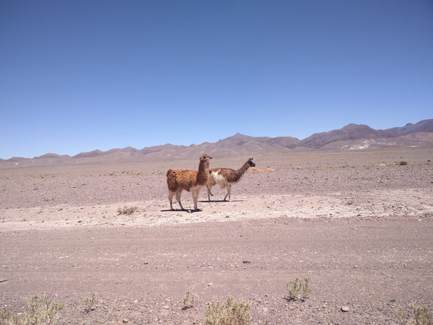 Wildlife in the Atacama