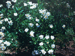 Carpenteria - a California native, with rose-like flowers