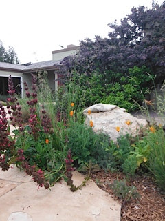 Hummingbird Sage, Poppies & Dark Star Ceanothus.