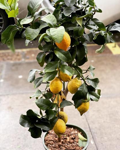 lemon_edited.jpg