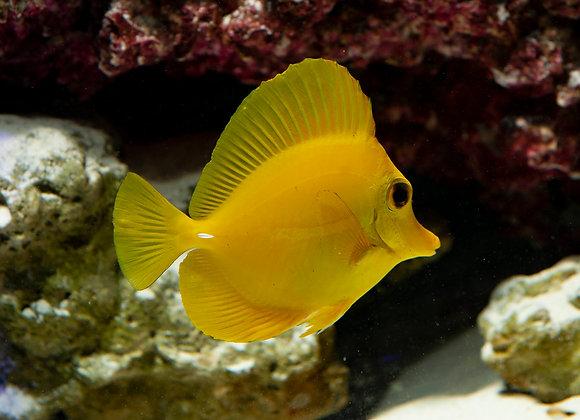 Small/Medium Yellow Tang  WYSIWYG